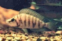 Fish Compressed Cichlid