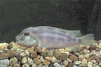 Fish False Mpozo Lionhead Cichlid