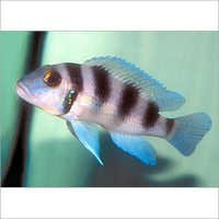 Fish Five-Bar Cichlid