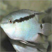 Fish Flag Cichlid