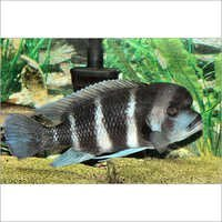 Fish Frontosa Humpy HeadCichlid