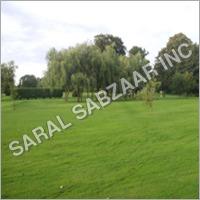 Lawn Grass Seeds