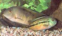 Fish Nicaragua Cichlid