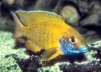 Fish Nkhomo-benga Peacock