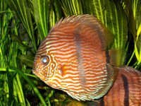 Fish Heckel Red Discus