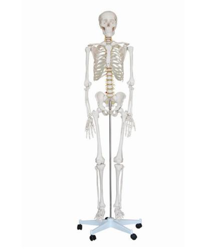 Disarticulated Skeletons For Medical Students