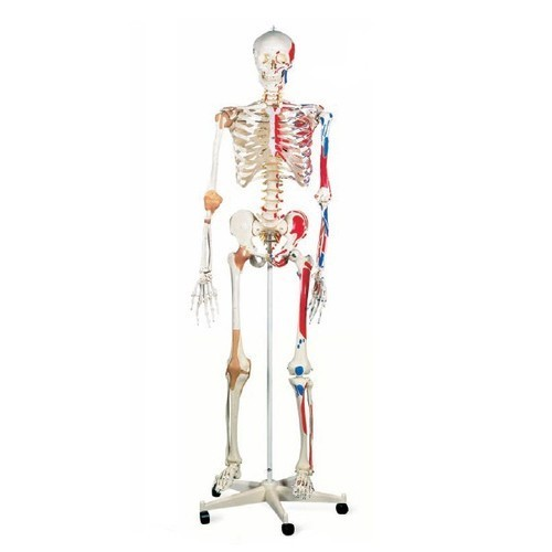 Human Skeleton with Nerves & Blood Vessels (Tall 85cm)