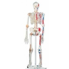 Human Skeleton Life - Size (Tall 170cm)