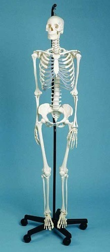 Male Skeleton Model (Tall 42cm)