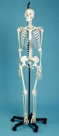 Mini Human Skeleton (Tall 42cm)
