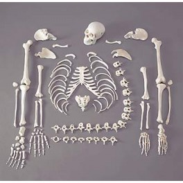 Disarticulated Human Skeleton (200 Bones)