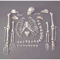 Disarticulated Human Skeleton (200 Bones)