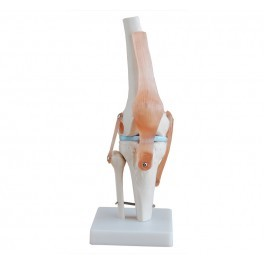 Knee Joint Life Size