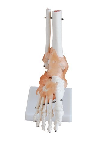 Foot Joint With Ligaments Life Size
