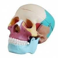 Adult Skull (Colored ) Life Size