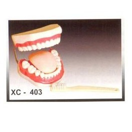 TOOTH HYGIENE SET MODEL/DENTAL CARE MODEL WITH BRUSH