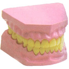 DENTAL MODEL SMALL