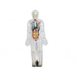 MODEL OF TRANSPARENT HUMAN (TALL 85 CM )
