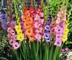 Gladiols flower
