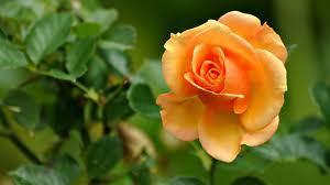 yellow rose (gold strick)