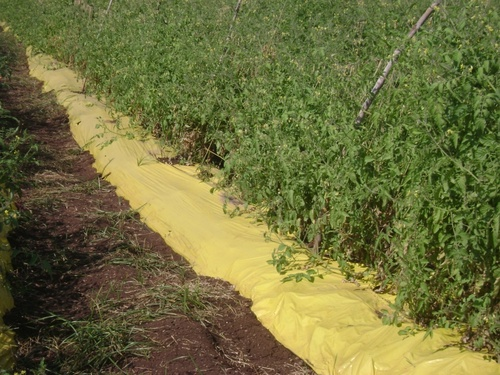 Yellow & Black Mulching Film