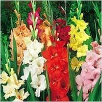 Gladiolus Rose