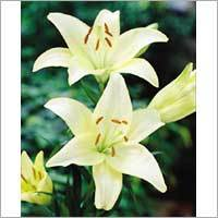 Liliums Flower