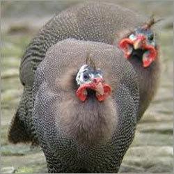Guinea Fowl Bird