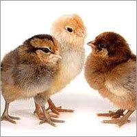 Chicken Chicks