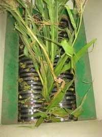 Maize stalks