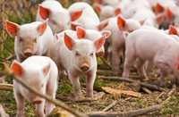 Pro Swine Nutritional Supplement