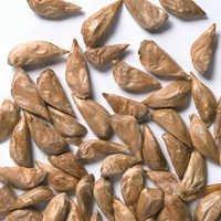 Cedrus Deodara Seeds