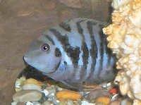Fish Convict Zebra Cichlid