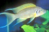 Fish Daffodil Cichlid
