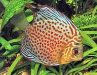 Fish Green Discus