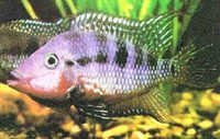 Fish Firemouth Cichlid