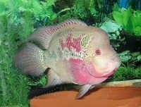 Fish Flowerhorn Cichlid