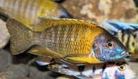 Fish Maulana Bicolor