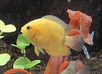 Fish Golden Severum