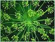 Dill Leaf Oil