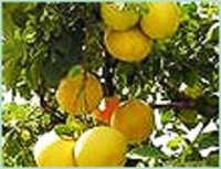 Grapefruit White Oil
