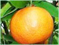Lime Terpenes Oil