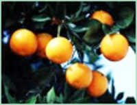 petitgrain terpenes oil