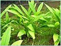 turmeric-oil