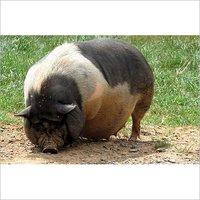 Pig Fattening Feed
