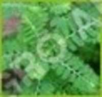 BHOOMI AMLA  PHYLLANTHUS