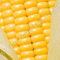 INDIAN YELLOW CORN