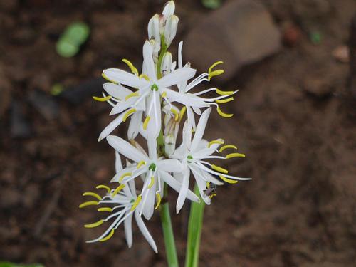 Chlorophytum Barivillianum - Safed Musli