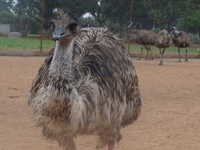 Healthy Emu Birds