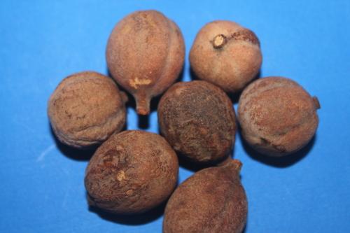 Terminalia Belerica Fruit Extract
